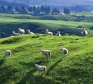 Sheep-on-hillside
